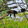 Howler Monkeys hanging out