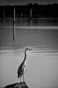 Heron Sunrise Black and White