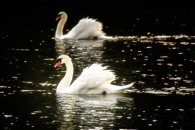 Resident Swans in Maple Bay