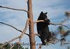 Bear Cub in Tree 4