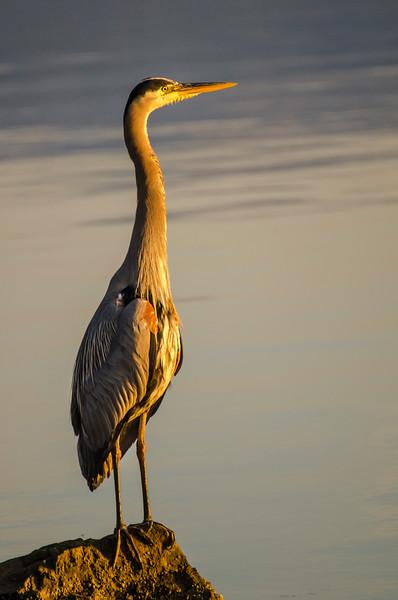 Heron Sunrise, Cowichan Bay