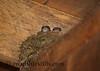 Baby Birds in Nest - Grey Eastern Phoebe 128
