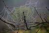 Morning Bew Spider Web
