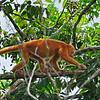 Blondy - A rare redish blonde monkey