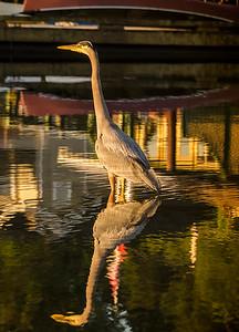 Heron Reflection, Cowichan Bay