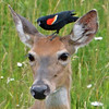 White-tailed Deer with Red-winged Blackbird on his head.
