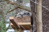 Rescued Great Horned Owlets