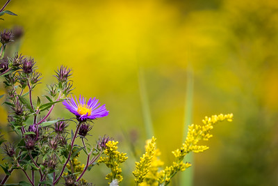 Purple Wildflower Amidst Goldenrod