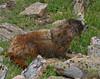 Mermot