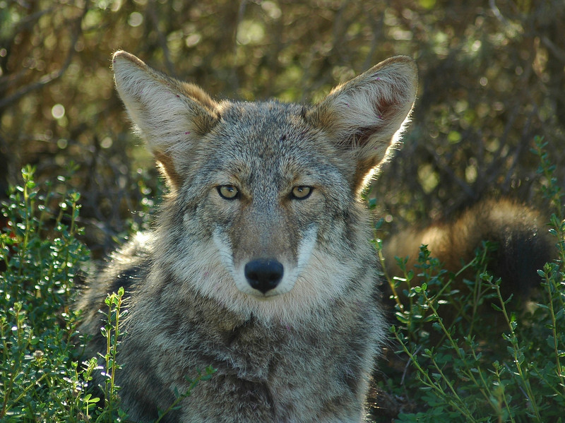 A young Coyote along side the road