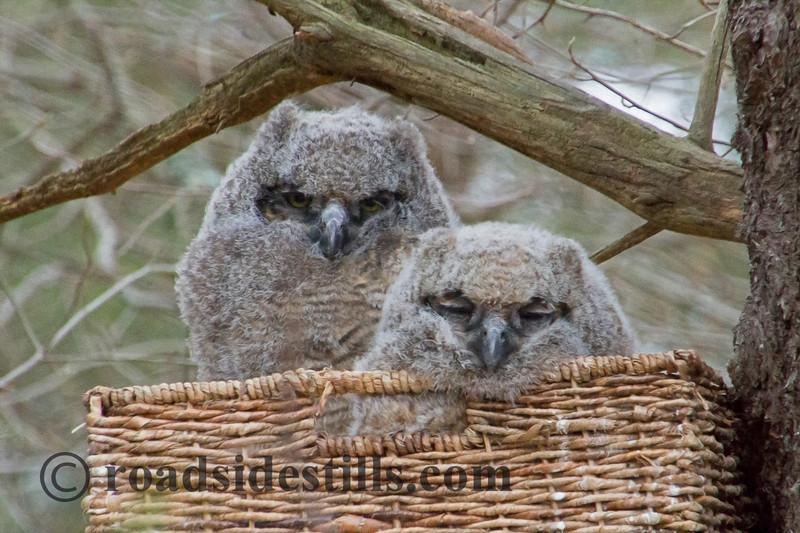 Great Horned Owlets in Wicker Basket Nest 558A ~ Digital Oil Print