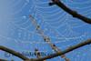 Dew Drop Spider Web