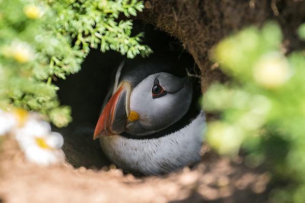 Atlantic puffin hiding in a burrow