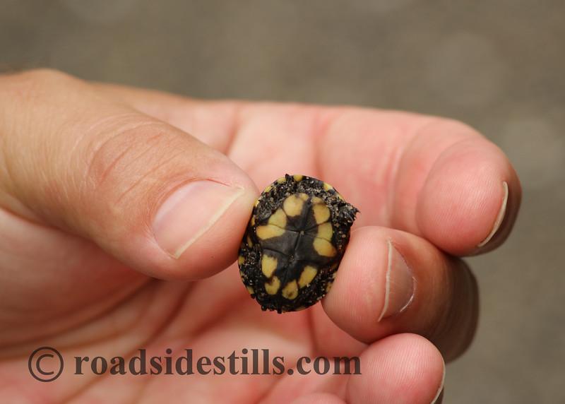 Tiny Baby Box Turtle