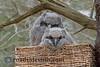 Great Horned Owlets in Wicker Basket Nest  557A ~ Oil Print