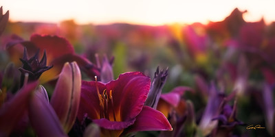 Fields of Lilies