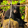 Black Bear Cub taking a break from play time