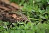 Gecko #343