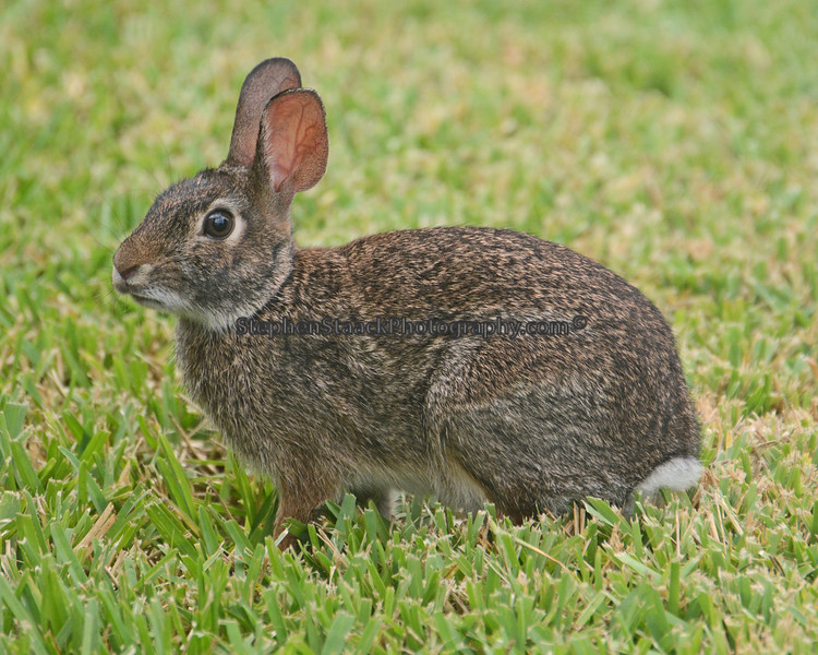 Swamp Hare.