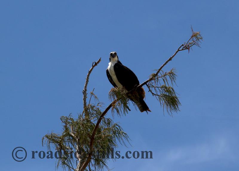 Osprey #346