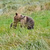 Adult Female Grissly Bear looking for her cubs while eating
