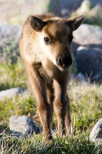 Cairngorm Reindeer