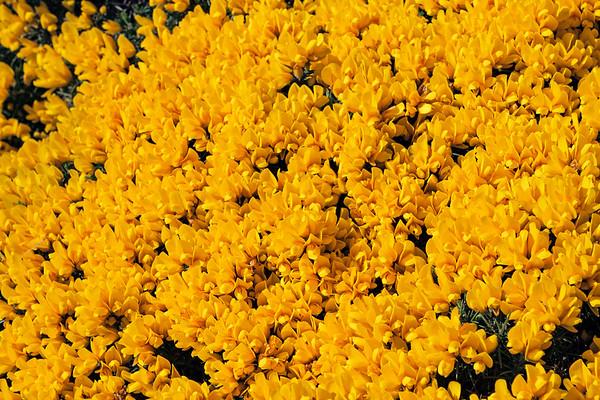 Gorse flower