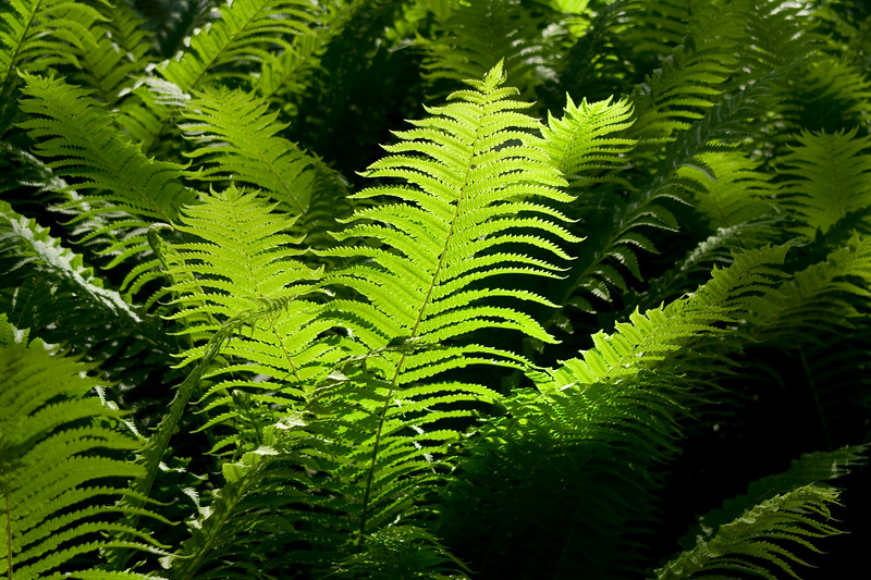 Backlit Bracken fronds