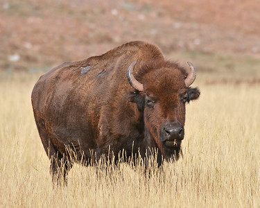 Buffalo Cow, Wind Cave National Park
