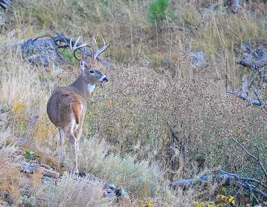 White Tail, Custer State Park