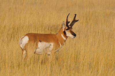 Antelope, Custer State Park