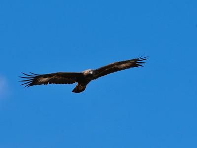 Golden Eagle, Wind Cave National Park