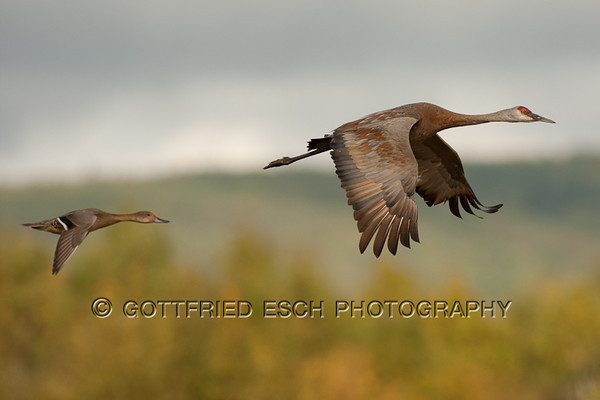 Sandhill Crane (Grus canadensis) and female Mallard (Anas platyrhynchos)<br /> in flight
