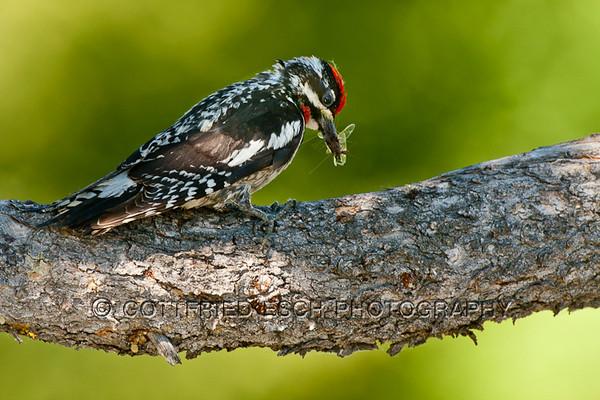 Hairy Woodpecker (Picoides villosus), Male