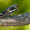 Hairy Woodpecker (Picoides villosus), Male