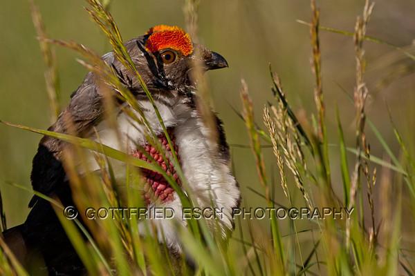 Dusky Grouse (Dendragapus obscurus)