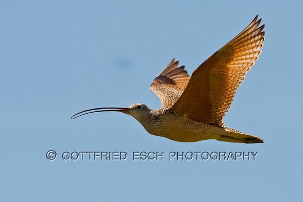 Long-billed Curlew (Numenius americanus)