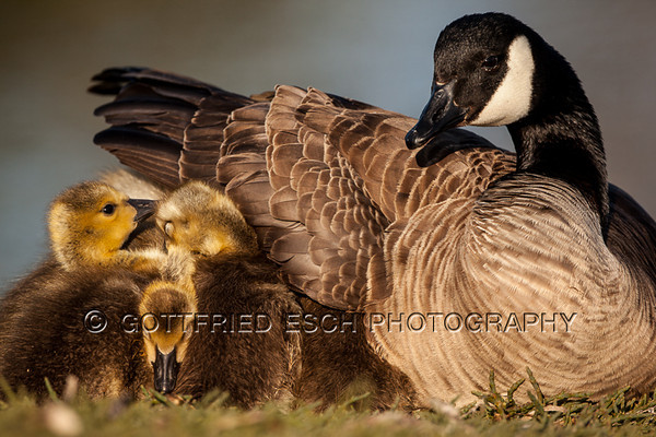 Canada goose  (Branta canadensis), mother with yellow plumage goslings