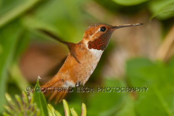 Rufous Hummingbird (Selasphorus rufus), male