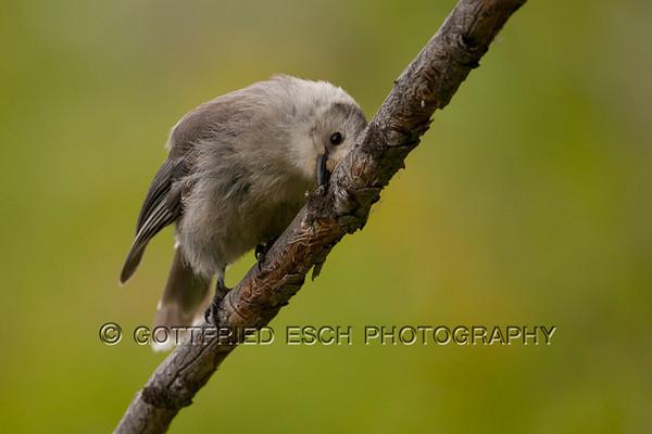 Grey Jay (Perisoreus canadensis), Juvenile