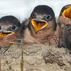 Barn Swallows (Hirundo rustica)<br /> in their nest