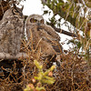 Great Horned Owls (Bubo virginianus), adult with youngsters.