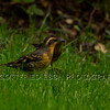 Varied Thrush (Lxoreus Naevius), male, female