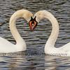 Mute Swans (Cygnus olor)
