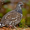 Spruce Grouse (Falcipennis canadensis), male