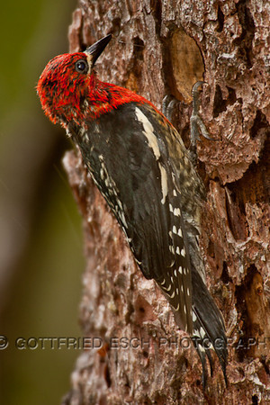 Red-breasted Sapsucker (Sphyrapicus rube)