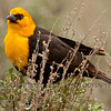 Yellow-headed cowbird