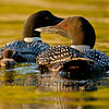 Common Loons (Gavia immer)