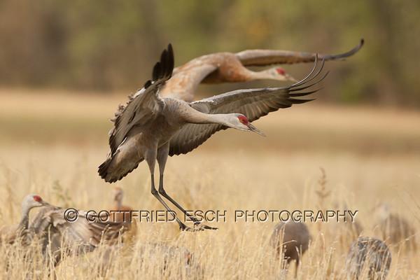 Sandhill Cranes (Grus canadensis) Cramer's field, Fairbanks,AK