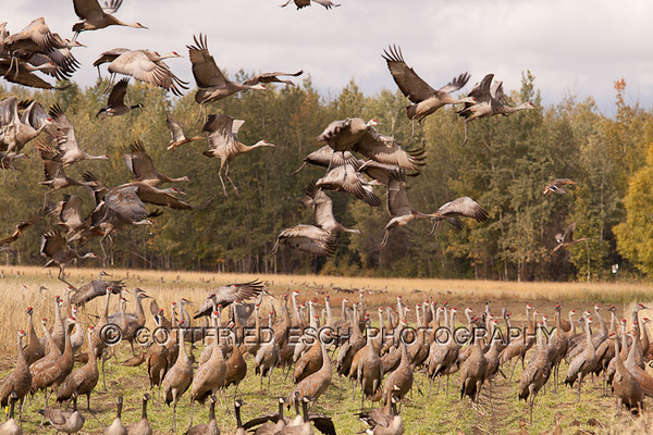 Sandhill Cranes (Grus canadensis), <br /> Fairbanks, AK